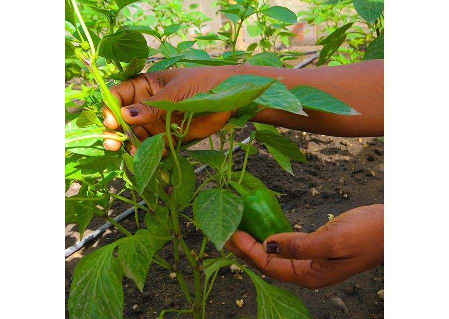 Livelihoods Under Corona: livelihoods and agriculture